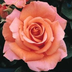 Warm Wishes' Bush Rose - 5.5L Pot
