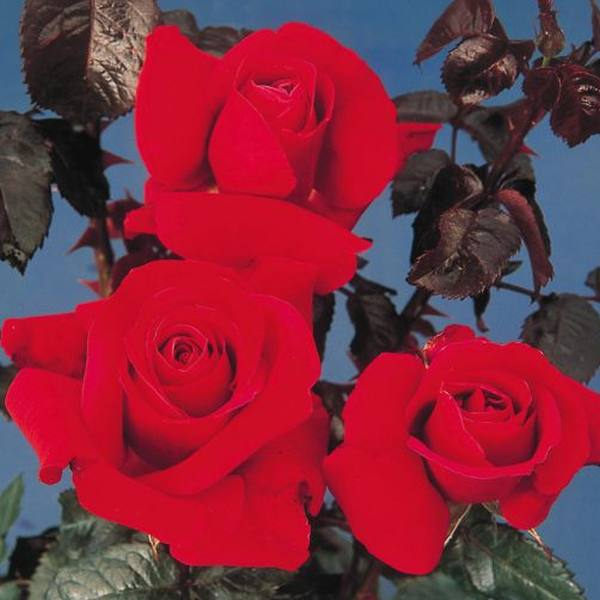 Thinking Of You' Bush Rose - 5.5L Pot