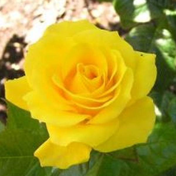 Golden Wedding' Bush Rose - 5.5L Pot