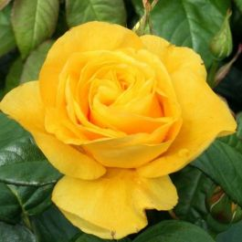 'Golden Wedding' Bush Rose - Bare-root
