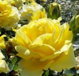 'Golden Anniversary' Bush Rose - 5.5L Pot