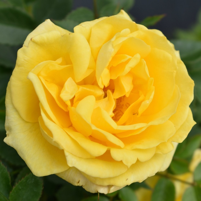 'Golden Anniversary' Patio Rose - 5.5L Pot