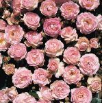 Pearl Anniversary' Patio Rose - 5.5L Pot