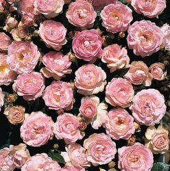 'Pearl Anniversary' Patio Rose - 5.5L Pot