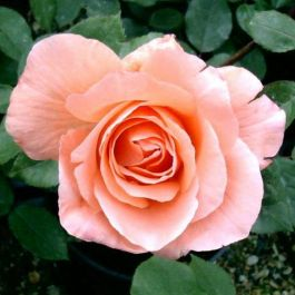 Blessings' Bush Rose - Bare-root
