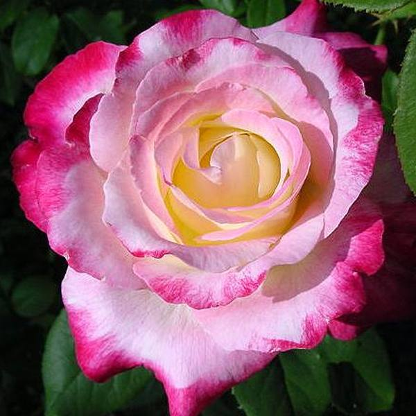 Double Delight' Bush Rose - Bare-root