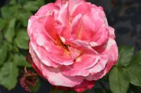 Double Delight' Bush Rose - 4L Pot