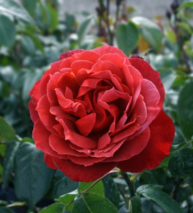 'Hot Chocolate' Bush Rose - 4L Pot