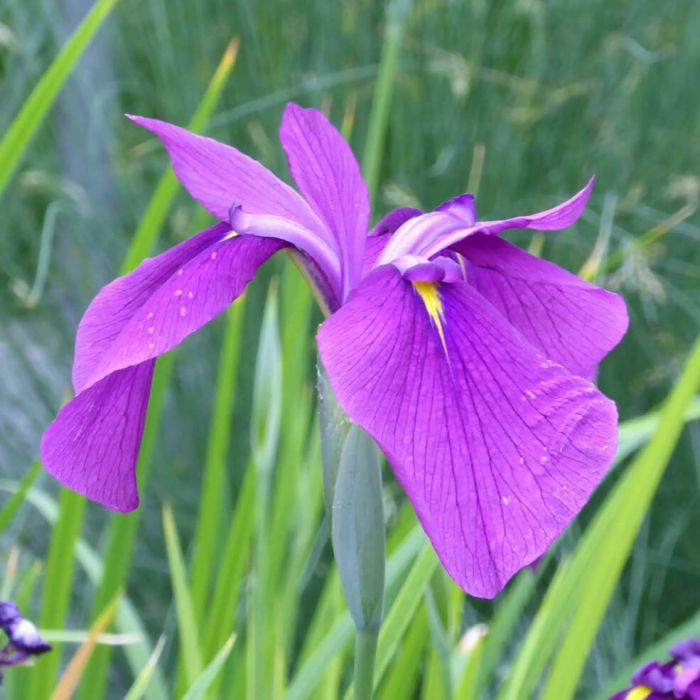 1L Double Flowered Iris Iris ensata