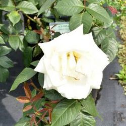 Ice Cream' Bush Rose - 4L Pot