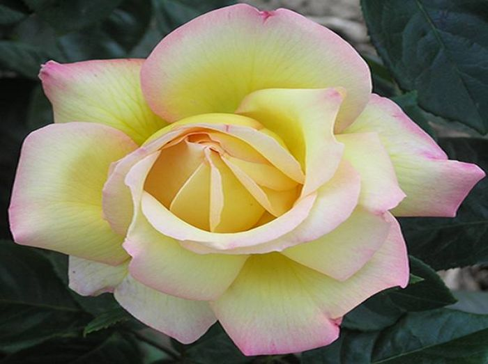 Peace' Bush Rose - 4L Pot