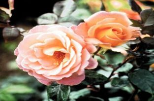 Rosemary Harkness' Bush Rose - Bare-root