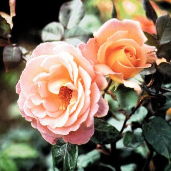 Rosemary Harkness' Bush Rose - 4L Pot
