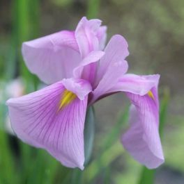 Large Japanese Water Iris 'Rose Queen' Iris ensata 'Rose Queen' - 3L Pot