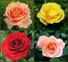 The Ultimate Rose Bush Collection By Henry Street
