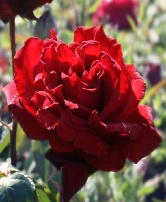 'Royal William' Bush Rose - 4L Pot