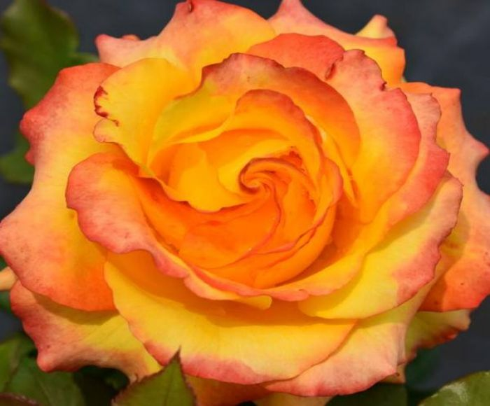 Tequila Sunrise' Bush Rose - 4L Pot