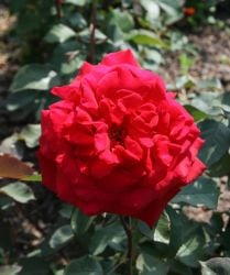 'Velvet Fragrance' Bush Rose - 4L Pot