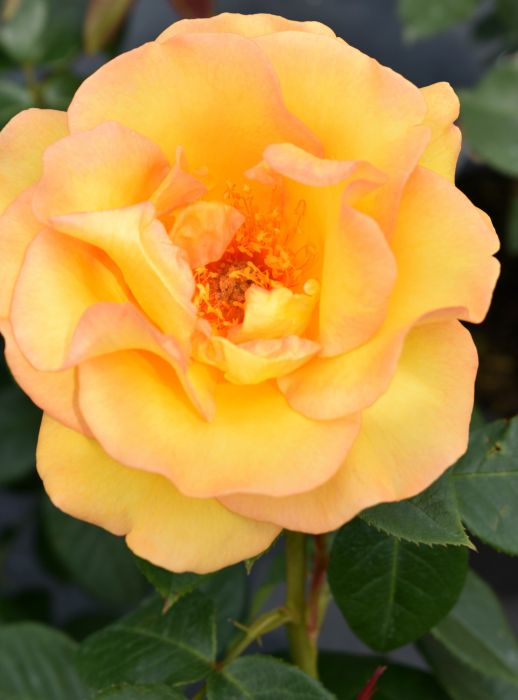 Keep Smiling Bush Rose 4l Pot 163 19 99