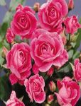 Brilliant Pink Iceberg' Bush Rose - 4L Pot