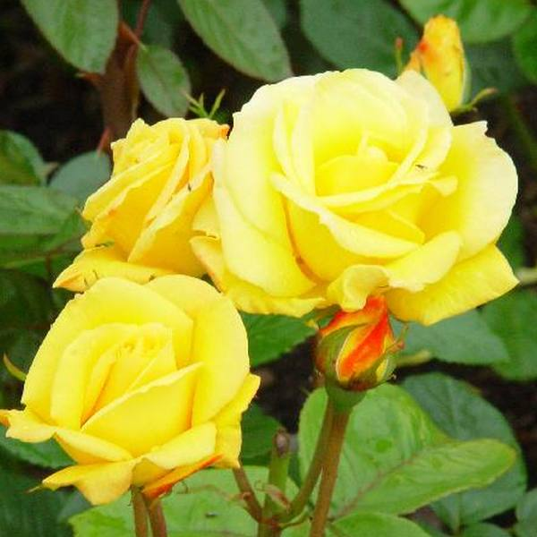 'Arthur Bell' Bush Rose - 4L Pot