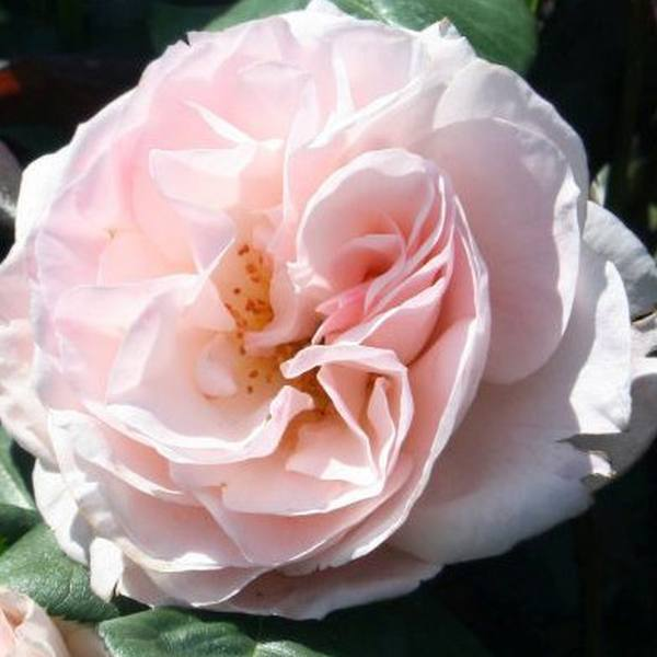 English Miss' Bush Rose - 4L Pot