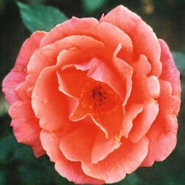Fragrant Delight' Bush Rose - 4L Pot
