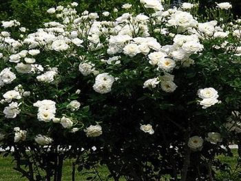 'Iceberg' Bush Rose - 4L Pot