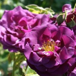 'Rhapsody In Blue' Bush Rose - 4L Pot