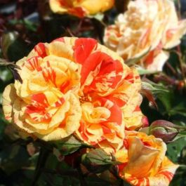 Oranges & Lemons' Bush Rose - 4L Pot