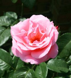 Queen Elizabeth' Bush Rose - 4L Pot