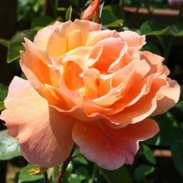 Southampton' Bush Rose - 4L Pot