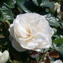 Princess Of Wales' Bush Rose - 4L Pot