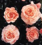Great Expectations' Bush Rose - 4L Pot