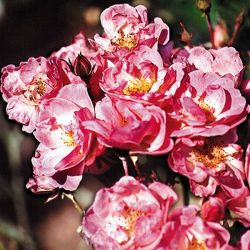 Nathalie Nypels' Bush Rose - 4L Pot