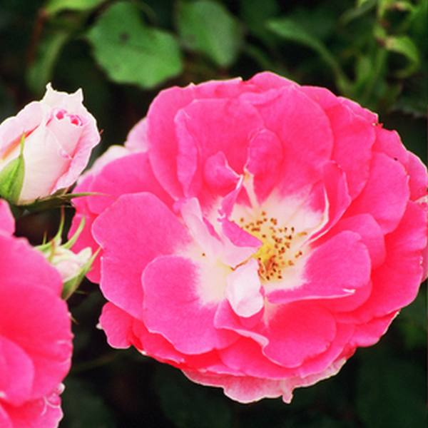 Regensberg' Ground Cover Rose - 4L Pot