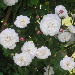 'Little White Pet' Shrub Rose - 4L Pot