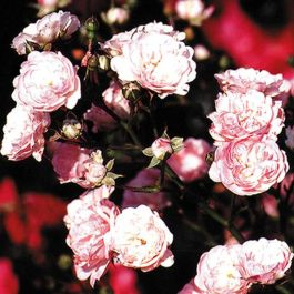 The Fairy' Ground Cover Rose - 4L Pot