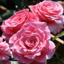 Tickled Pink' Bush Rose - 4L Pot
