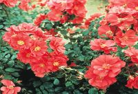 Berkshire' Ground Cover Rose - 4L Pot