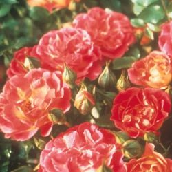 Cambridgeshire' Ground Cover Rose - 4L Pot
