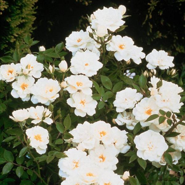 Kent' Ground Cover Rose - Bare-root