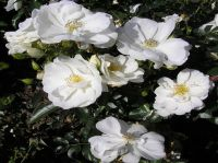 'Flower Carpet White' Ground Cover Rose - 4L Pot
