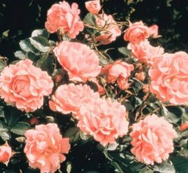 Surrey' Ground Cover Rose - 4L Pot