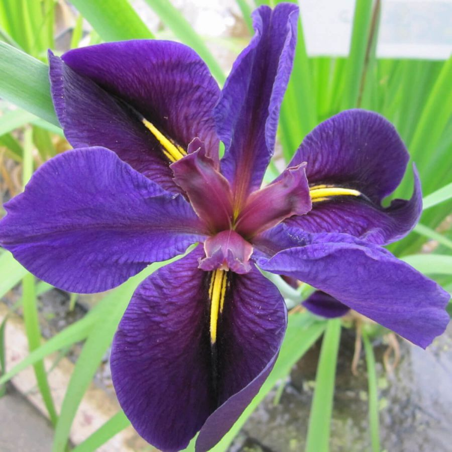 Large Louisiana Iris 'Black Gamecock'Iris Louisiana 'Black Gamecock' - 3L Pot