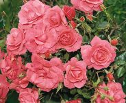 Wiltshire' Ground Cover Rose - Bare-root