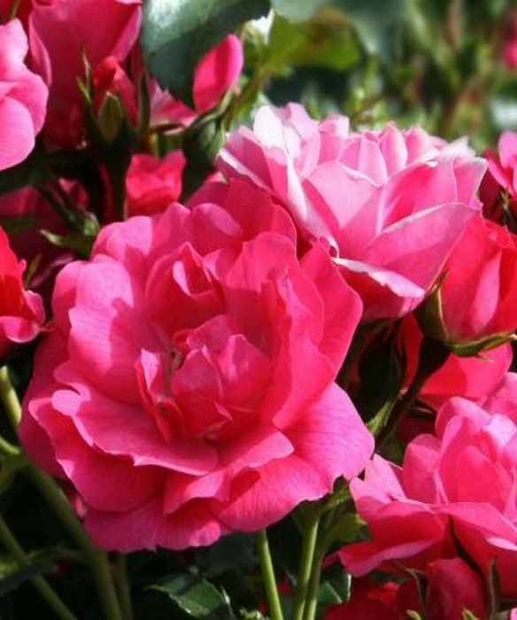Wiltshire' Ground Cover Rose - 4L Pot