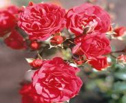 Lancashire' Ground Cover Rose - 4L Pot