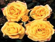Golden Trust' Patio Rose - Bare-root