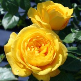 Golden Trust' Patio Rose - 4L Pot